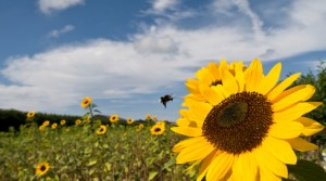 abeilles-fleurs